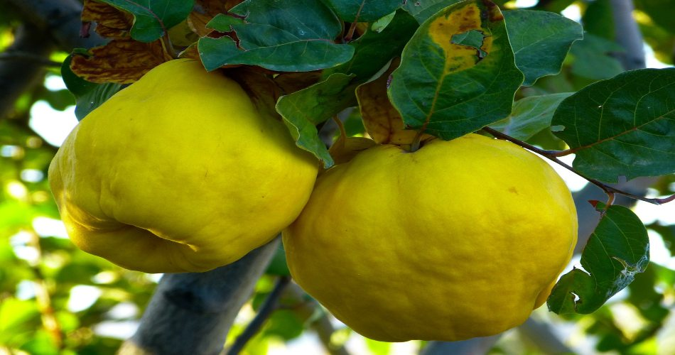 Frutti antichi mela cotogna