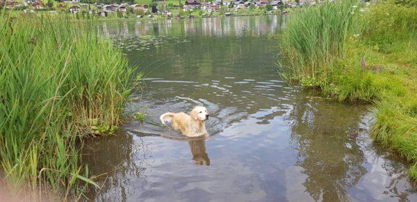Il cane che nuota nel lago
