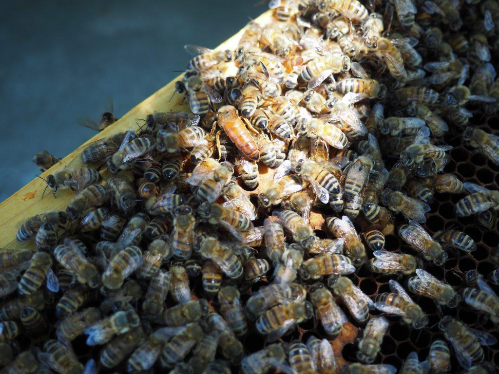 Chi produce il miele - Ape regina