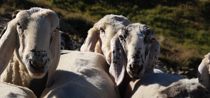 Pecore Cornigliesi di M. Valenti