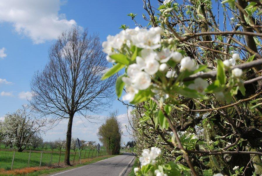 strada dei ciliegi in fiore