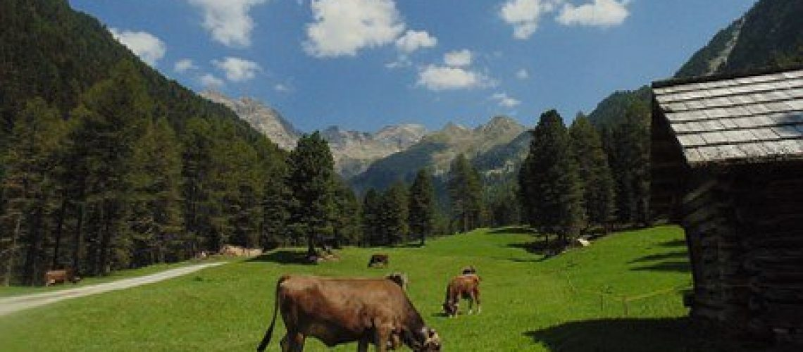 Montagne con mucche al pascolo